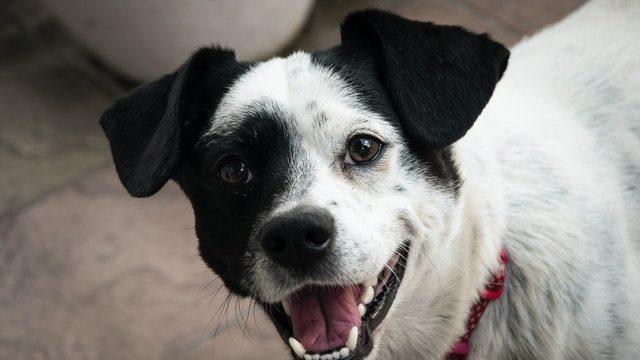 short-coated-white-and-black-dog-1404727 (2)